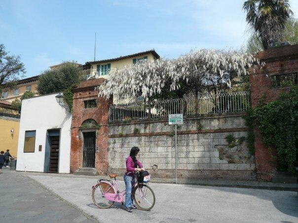 Glicine nelle vie di Lucca