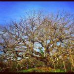 La quercia delle streghe